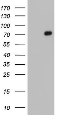FN1 Antibody in Western Blot (WB)