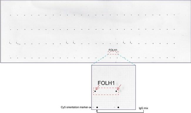 FOLH1 Antibody in Peptide array (ARRAY)