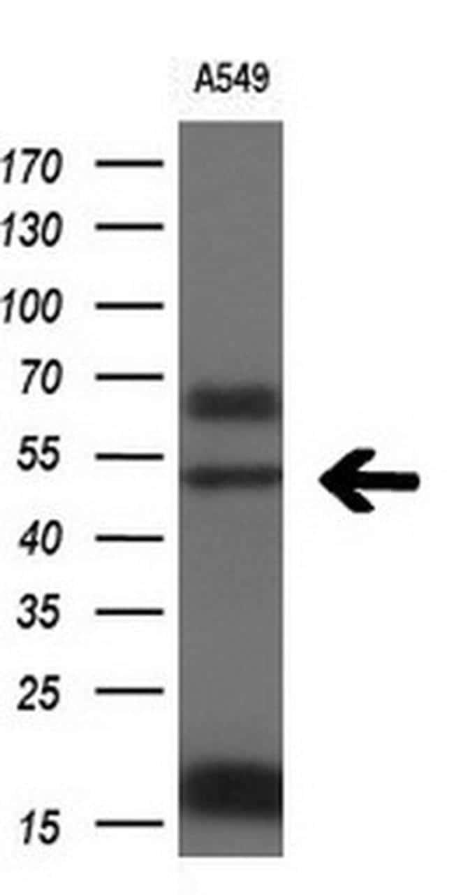 FOXA2 Antibody in Western Blot (WB)