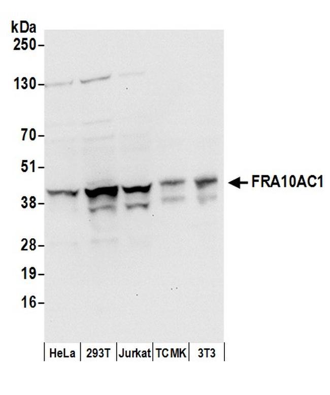 FRA10AC1 Antibody in Western Blot (WB)