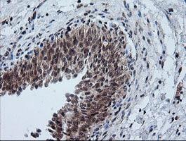 FTCD Antibody in Immunohistochemistry (Paraffin) (IHC (P))