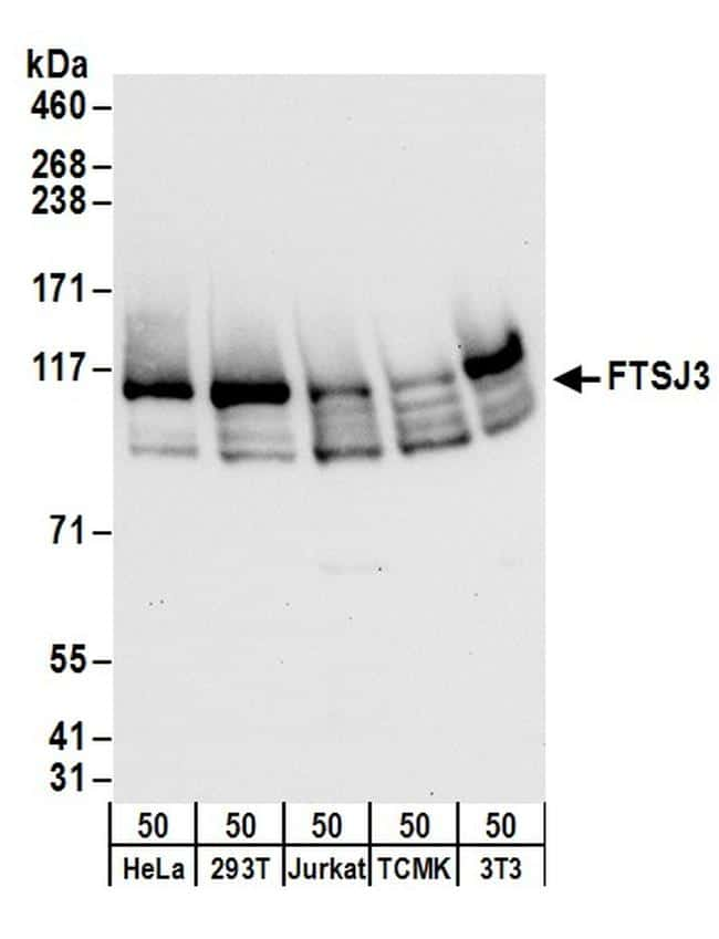 FTSJ3 Antibody in Western Blot (WB)