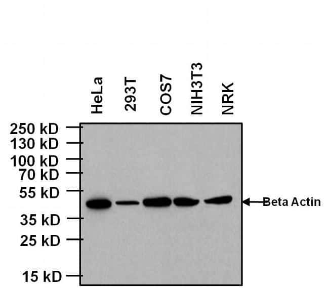 Mouse IgG (H+L) Cross-Adsorbed Secondary Antibody in Western Blot (WB)