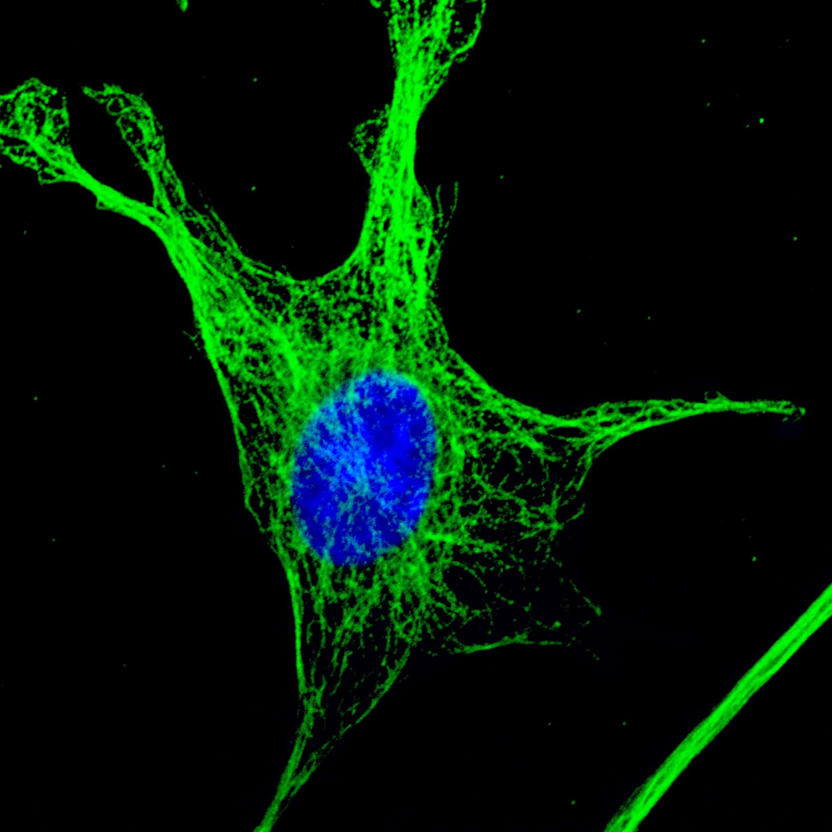 Mouse IgG (H+L) Highly Cross-Adsorbed Antibody in Immunofluorescence (IF)