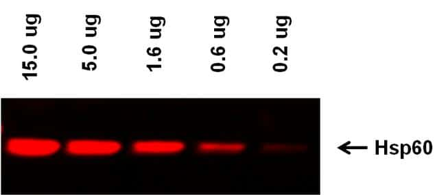 Mouse IgG (H+L) Highly Cross-Adsorbed Secondary Antibody in Western Blot (WB)