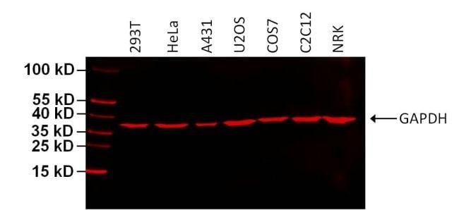 GAPDH Loading Control Antibody in Western Blot (WB)