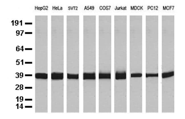 GAPDH Antibody in Western Blot (WB)