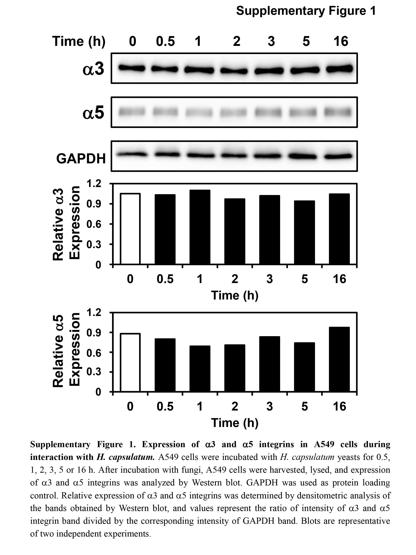 GAPDH Antibody