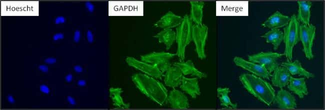 GAPDH Loading Control Antibody in Immunofluorescence (IF)