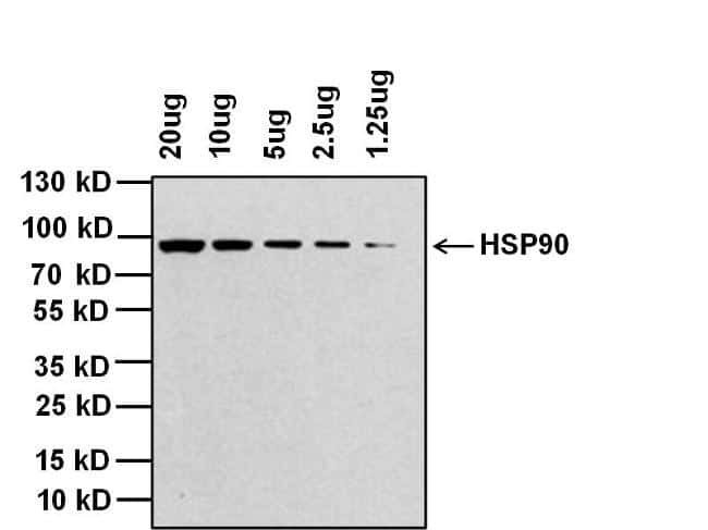 Rabbit IgG (H+L) Cross-Adsorbed Secondary Antibody in Western Blot (WB)