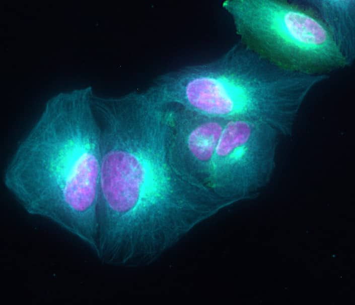Rat IgG (H+L) Highly Cross-Adsorbed Secondary Antibody in Immunofluorescence (IF)