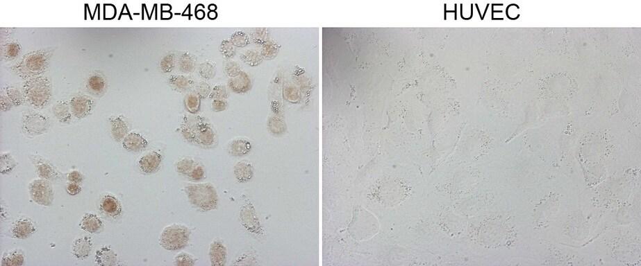GATA3 Antibody in Immunofluorescence (IF)