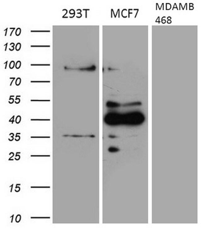 GATA3 Antibody in Western Blot (WB)