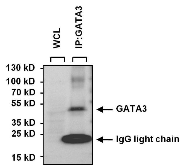 GATA3 Antibody in Immunoprecipitation (IP)