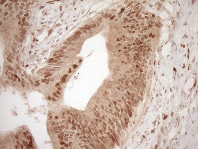 GFI1 Antibody in Immunohistochemistry (Paraffin) (IHC (P))