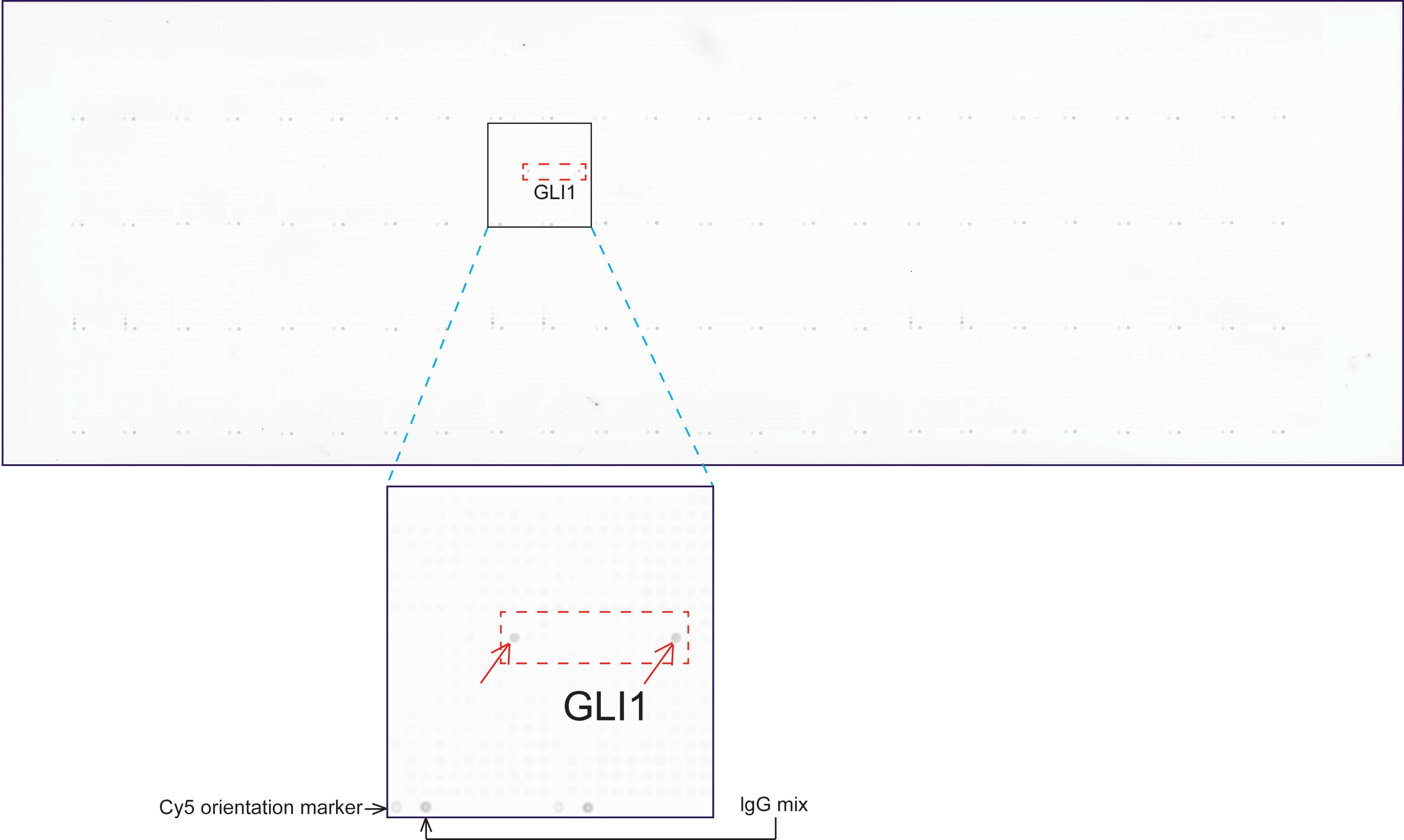 GLI1 Antibody in Peptide array (ARRAY)