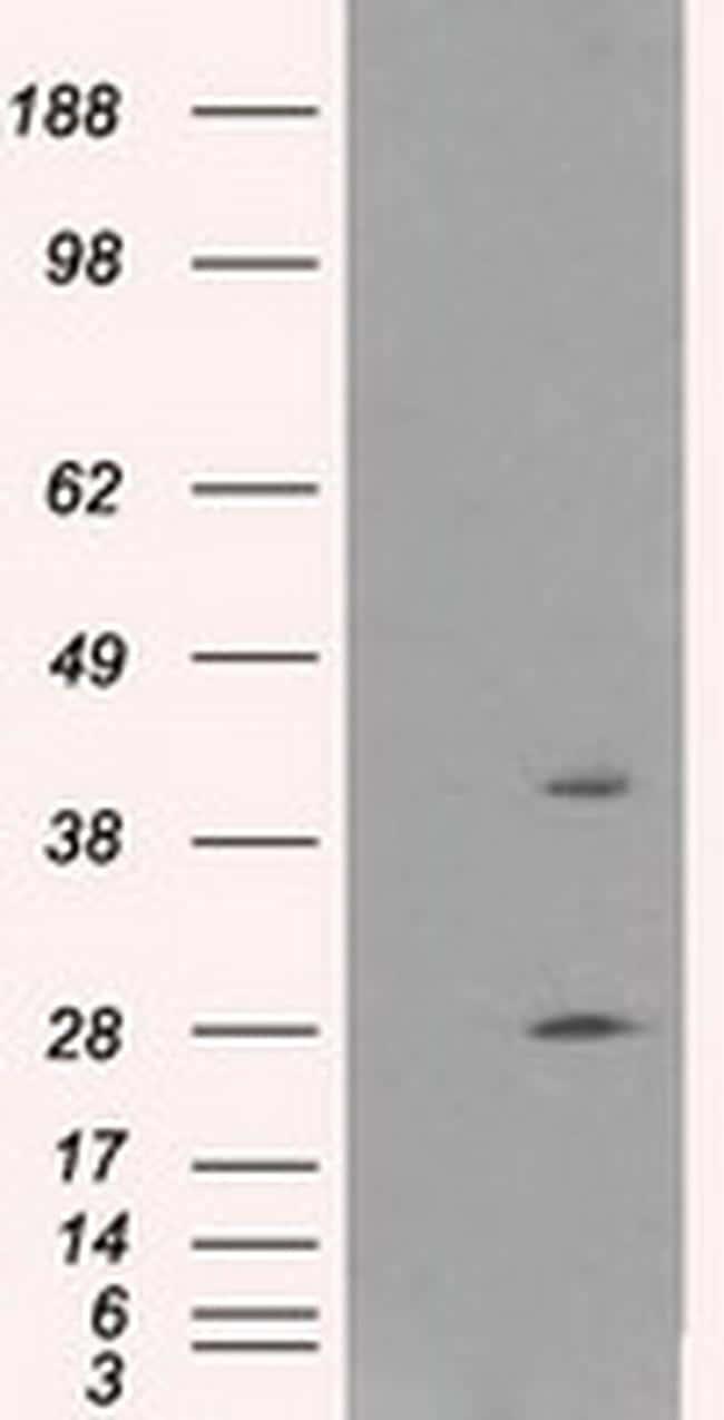 GLUL Antibody in Western Blot (WB)