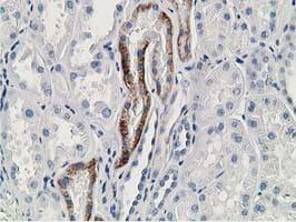 GNB2L1 Antibody in Immunohistochemistry (Paraffin) (IHC (P))
