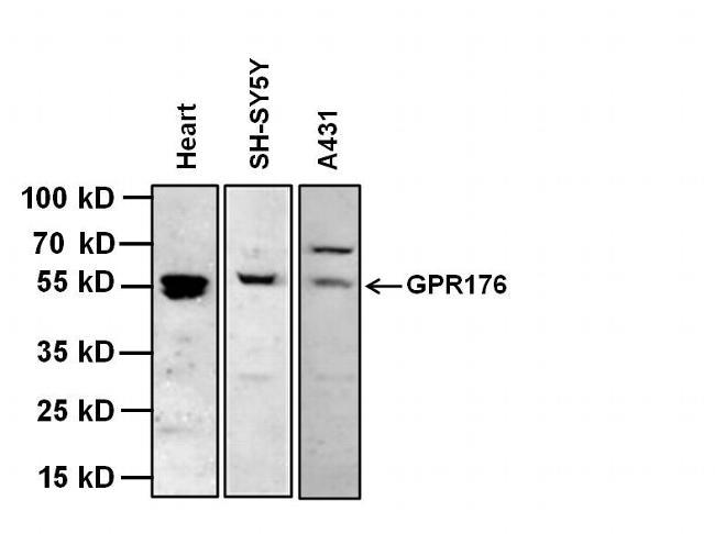 Gpr176 Antibody