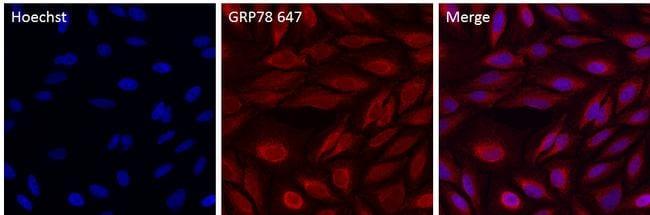 GRP78 Antibody in Immunofluorescence (IF)