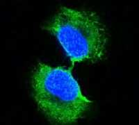 GSTP1 Antibody in Immunofluorescence (IF)
