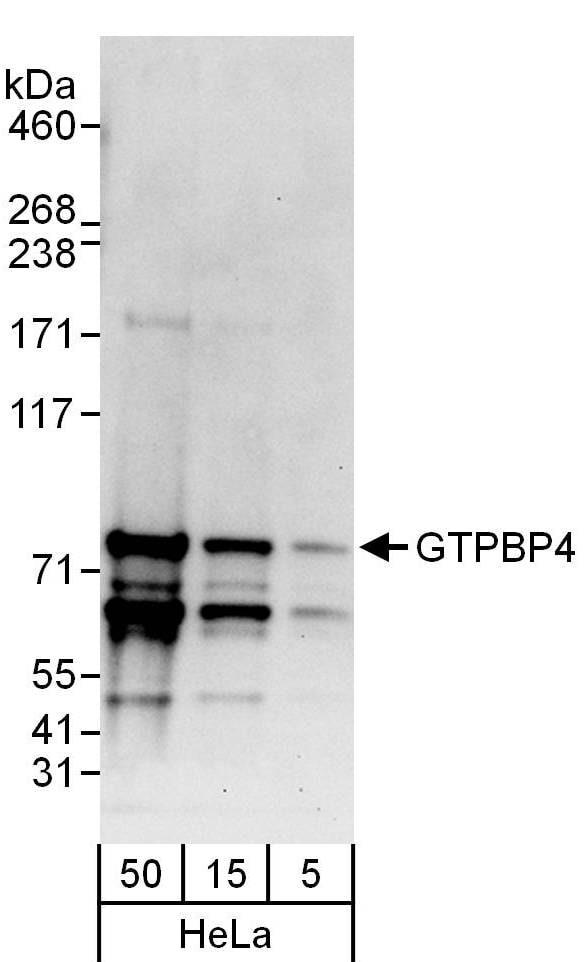 GTPBP4 Antibody in Western Blot (WB)