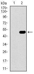 GUCY1A3 Antibody in Western Blot (WB)