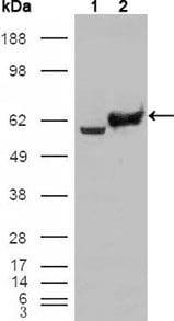 GPI Antibody in Western Blot (WB)