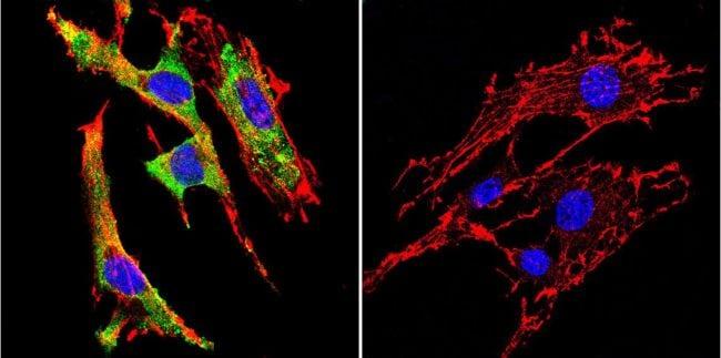 GRP94 Antibody in Immunofluorescence (IF)