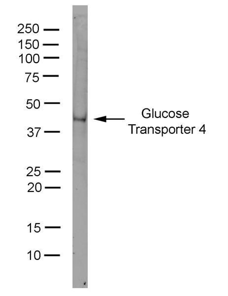 GLUT4 Antibody in Western Blot (WB)