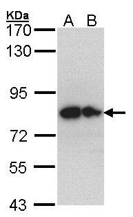 Glypican 1 Antibody in Western Blot (WB)
