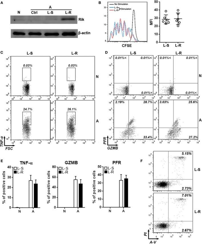 Granzyme B Antibody