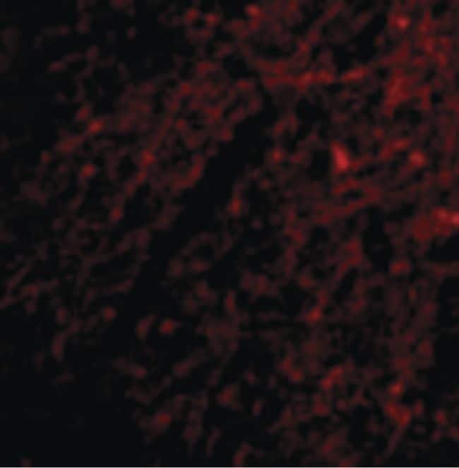 GRIK1 Antibody in Immunofluorescence (IF)