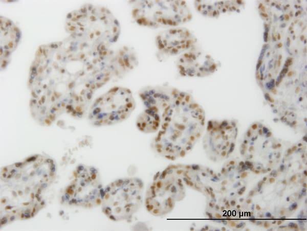 CLK3 Antibody in Immunohistochemistry (Paraffin) (IHC (P))
