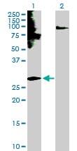 EDN3 Antibody in Western Blot (WB)