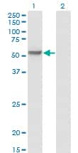 MPP1 Antibody in Western Blot (WB)