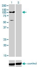 ATP2C1 Antibody in Western Blot (WB)