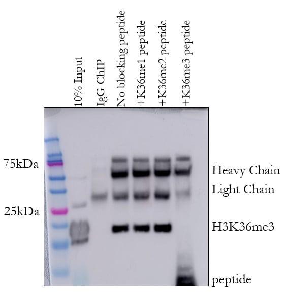 H3K36me3 Antibody in ChIP assay (ChIP)