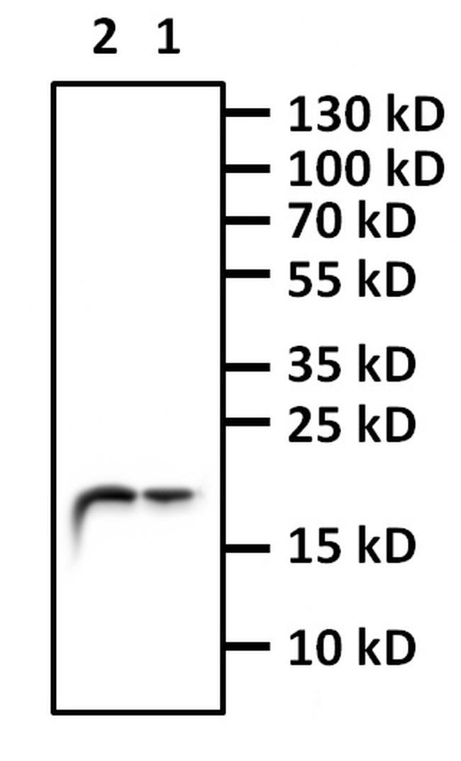 H3K4me1 Antibody in Western Blot (WB)