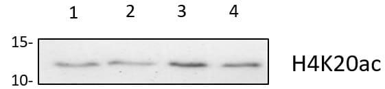 H4K20ac Antibody in Western Blot (WB)