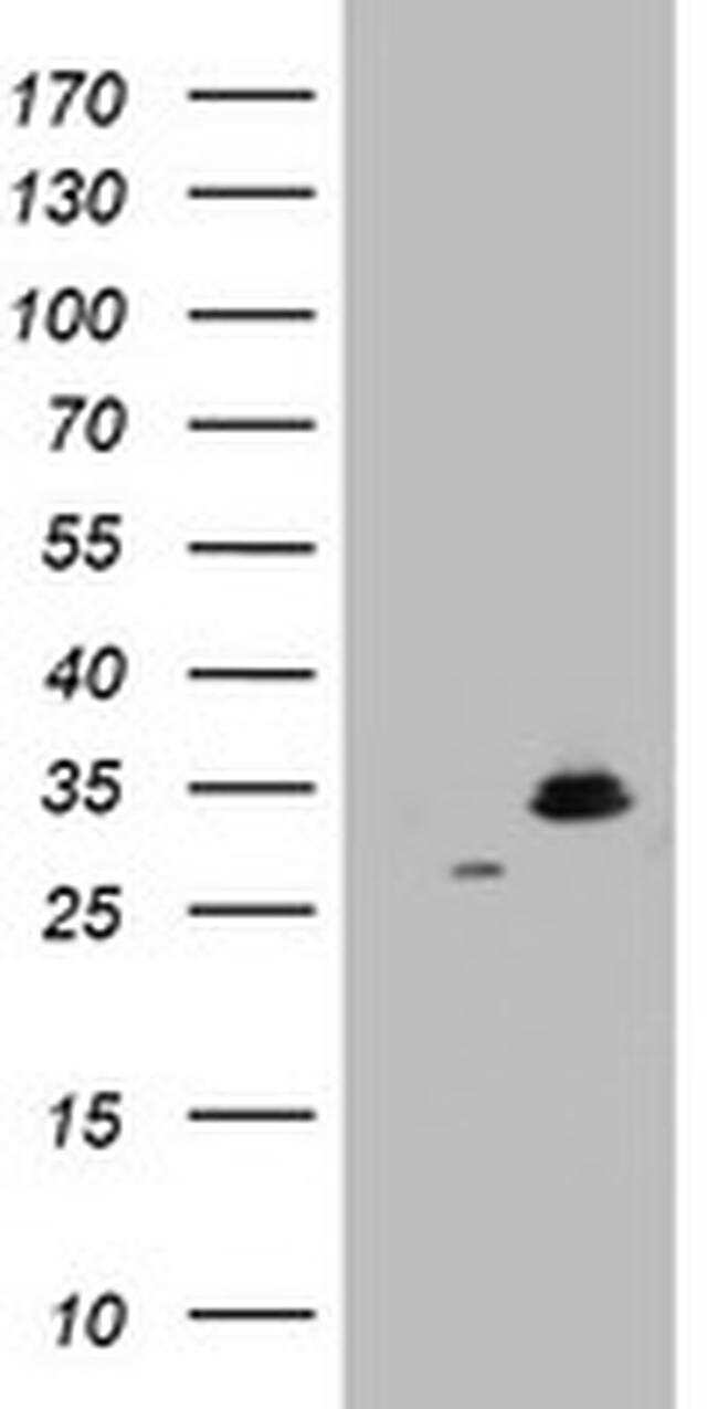 HADH Antibody in Western Blot (WB)
