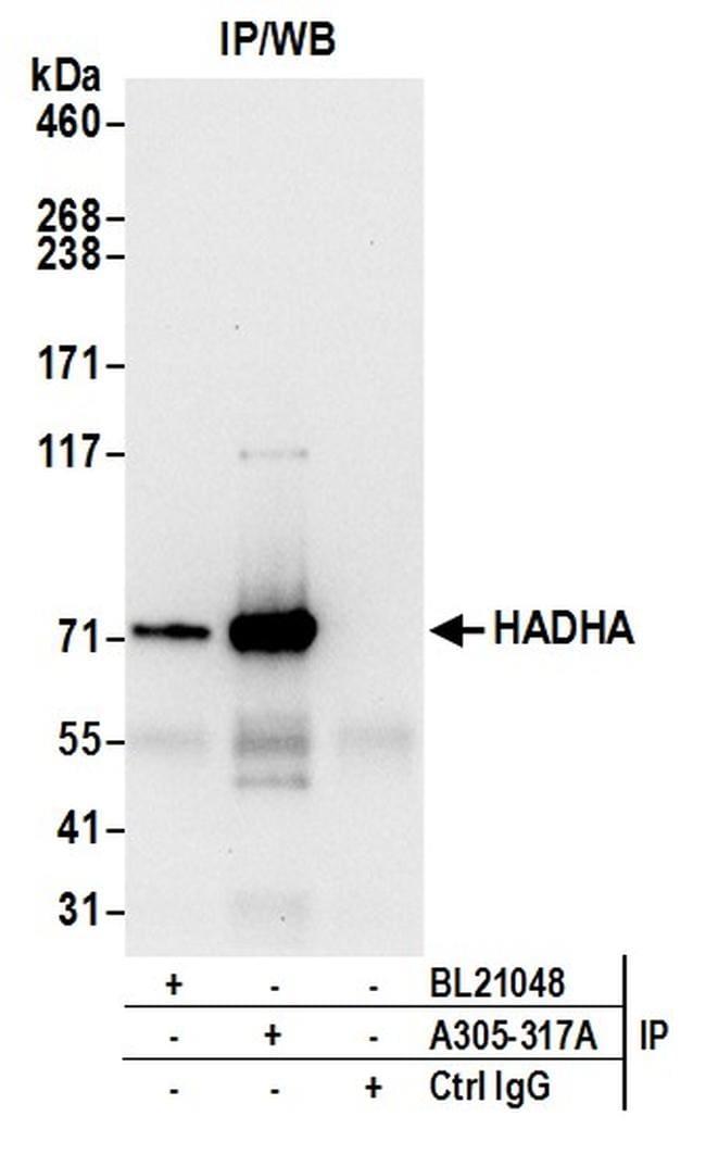 HADHA Antibody in Western Blot (WB)