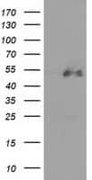HDAC1 Antibody in Western Blot (WB)
