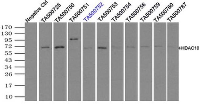 HDAC10 Antibody in Immunoprecipitation (IP)