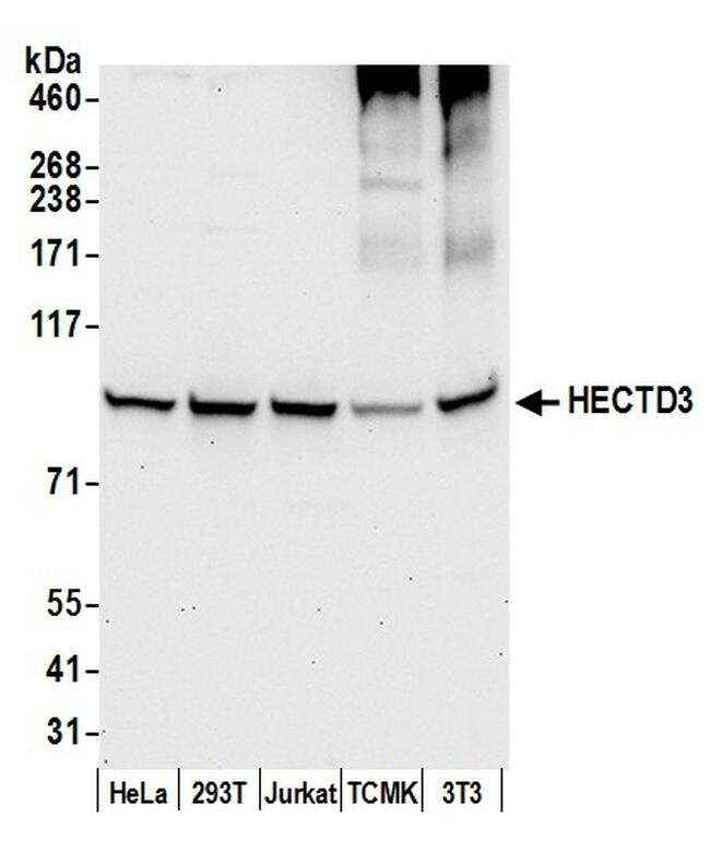 HECTD3 Antibody in Western Blot (WB)