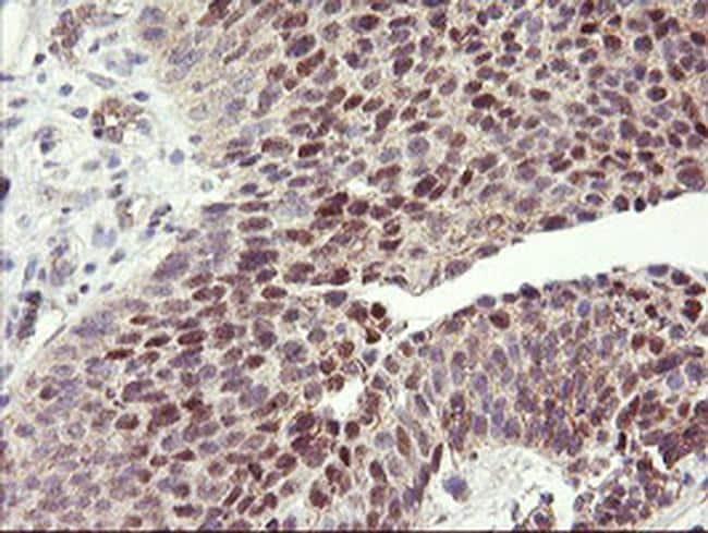 HES1 Antibody in Immunohistochemistry (Paraffin) (IHC (P))