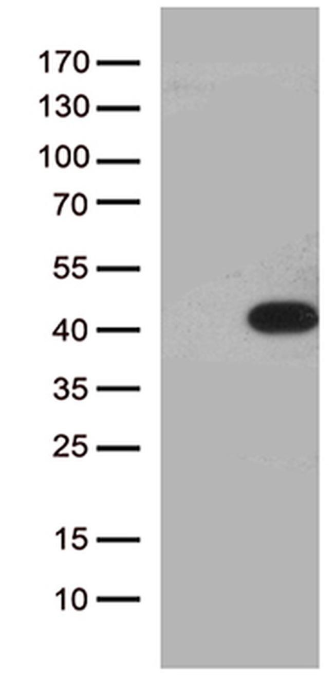HEYL Antibody in Western Blot (WB)
