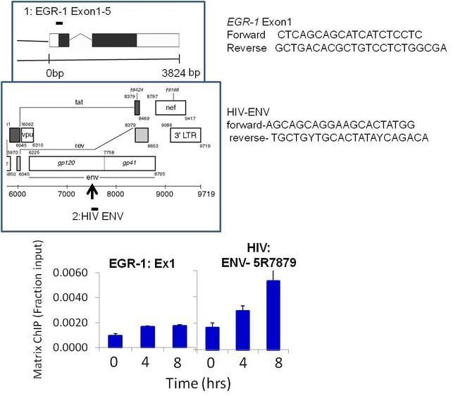 HIV1 Tat Antibody in ChIP assay (ChIP)