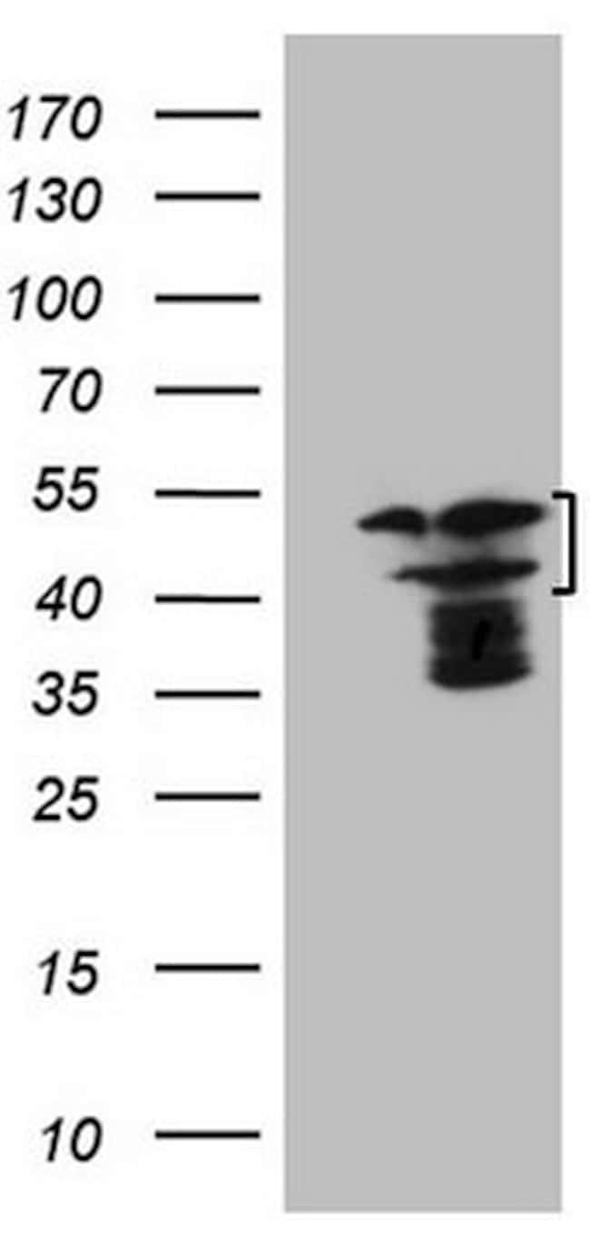 HMG20A Antibody in Western Blot (WB)