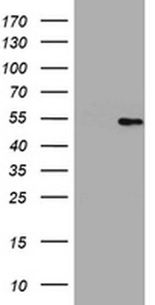 HMGXB4 Antibody in Western Blot (WB)